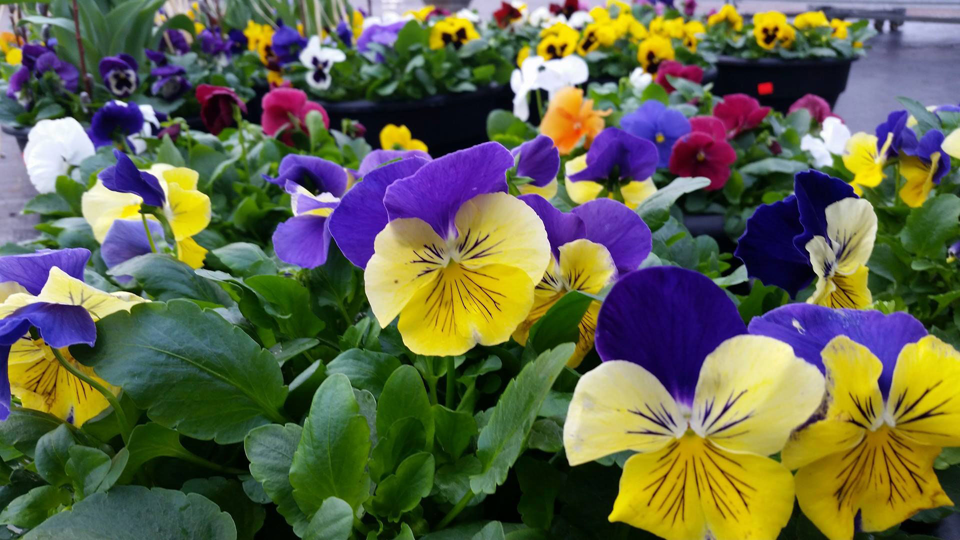 Pansies, Century Home and Garden Greenhouse